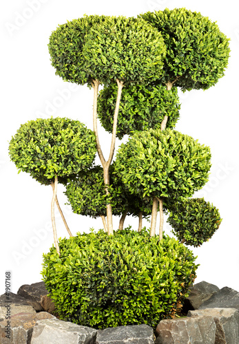 buchsbaum mit kugeln stockfotos und lizenzfreie bilder auf bild 41907168. Black Bedroom Furniture Sets. Home Design Ideas