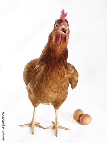 Gallina poniendo huevos,huevos y gallina.
