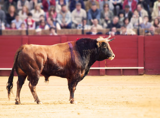 Fighting bull  at the arena. Brown bull