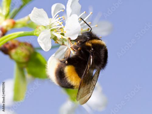Bumblebee - 41910396