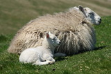 resting ewe with little lamb