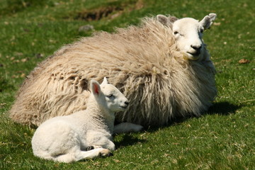 ewe with little lamb resting on grass