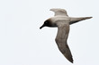 Light-mantled sooty albatross flying.