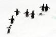 Adelie penguins running on ice.