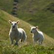 two playfull lambs