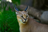 Portrait of a Caracal