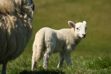 ewe guarding little lamb