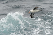 Black-browed albatross flying between waves.