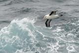Black-browed albatross flying between waves. poster