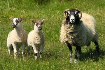 ewe with two little lambs