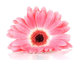 beautiful pink gerbera with drops isolated on white.