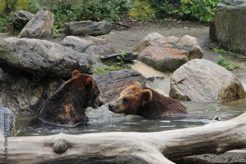Grizzly Bear w lunging wody naprzód dla ataku