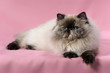 Lying persian seal tortie colorpoint cat