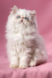 Sitting persian cream point kitten