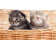 two funny small kittens in wicker basket
