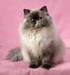 Cute sitting persian seal tortie colorpoint cat