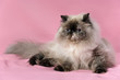 Cute persian seal tortie colorpoint cat