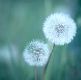 Dandelions - 41923715