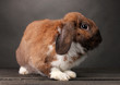 Lop-eared rabbit on grey background
