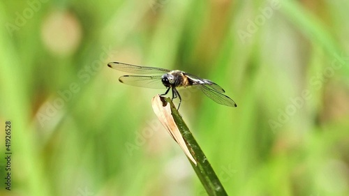 Beautiful dragonfly resting on a leaf