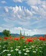 Springtime: field of daisy flowers and red poppy