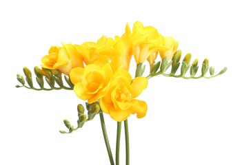 Beautiful yellow freesias isolated on white