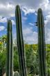 Tropical green cactus - garden costarica