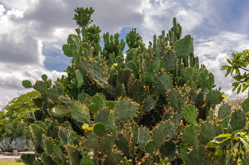 Yellow prickly pear cactus - garden costarica