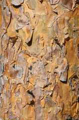 Background of sunlit pine bark