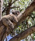 koala is sleeping on the tree