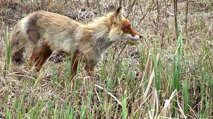 Wild red fox on the watering