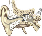 internal and middle ear