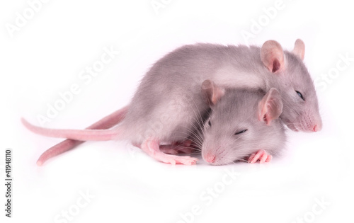 Picture of two tired rats sleeping on white background (1 month)