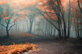 trees with red leafs in a forest with fog