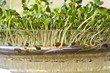 Pousses de graines germées bio