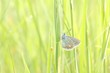 Closeup of a butterfly (Polyommatus) in spring meadow