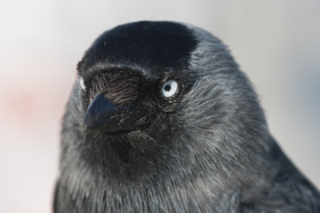 Close-up of a Western Jackdaw