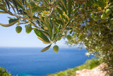Fototapety a olive tree on the sea background