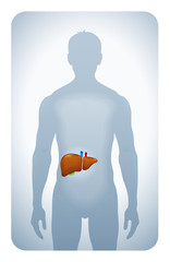 liver highlighted on the silhouette of a man
