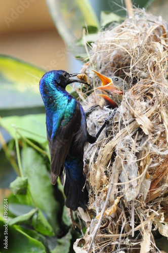 Male Sunbird feeding his newborn chicks in nest