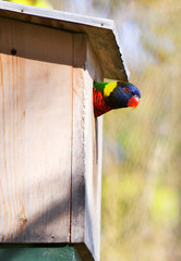 Peeking Lorikeet
