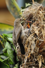 A female Palestine Sunbird feeding the chicks in nest