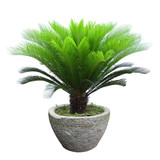 sago cycad tree