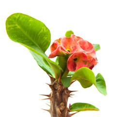 flowering Euphorbia milii