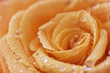 obraz - Rose with water drops