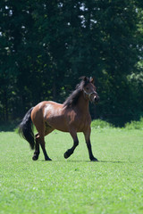 Kaltblut-Pony-Mischung