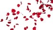 Animation of falling rose petals in slow motion