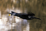 Cormorant bird flying