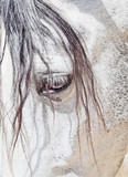 eye of  purebred  Andalusian white horse closeup
