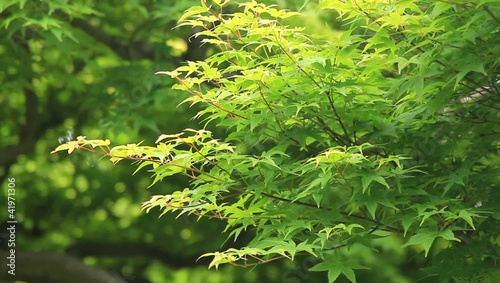 maple of the fresh green